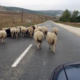 ovci-cdac5fd35a
